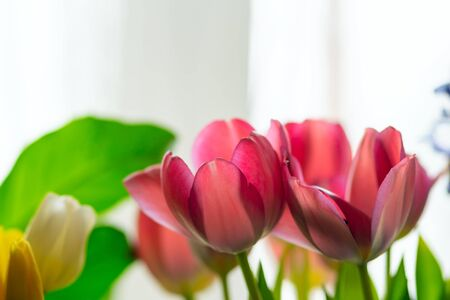Beautiful composition of pink and yellow tulips and greenery. Glowing flower petals on a light background. Close up view.