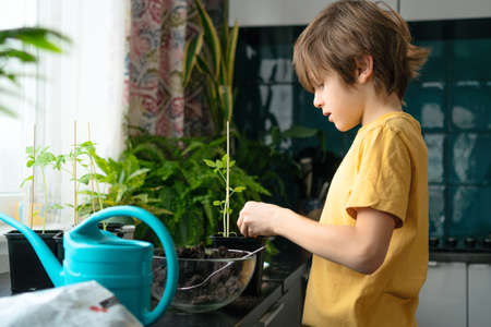 Little boy planting seedlings at home. An independent child is busy with a hobby with potted plants. Lifetime concept