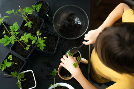 Little boy planting seedlings at home. An independent child is busy with a hobby with potted plants. Happy child replanting tomato