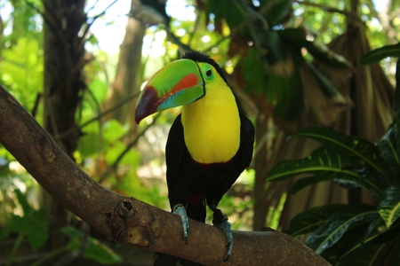 exotics: toucan  Stock Photo