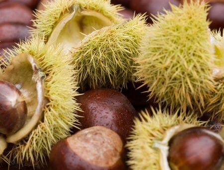 Close up of chestnuts in autum
