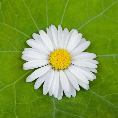 daisy flower on green leaf Stock Photo