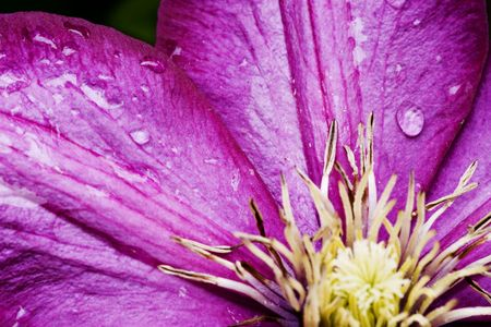 clematis flower: Close up of purple Clematis flower with raindrops Stock Photo