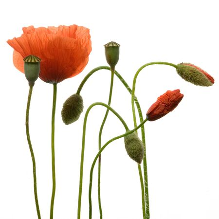 Poppy flowers isolated on white background Stock Photo - 3158715