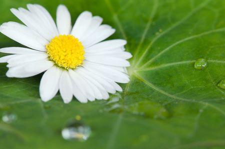 daisy flower on green leaf Stock Photo
