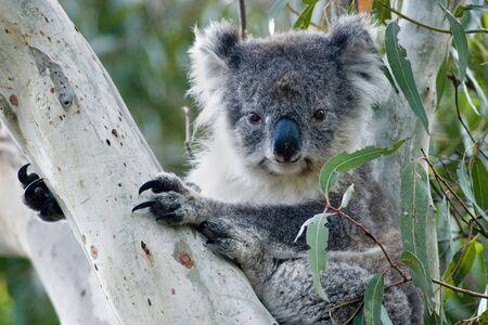 Koala in eucalyptus tree on Kangaroo IslandSouth Australia