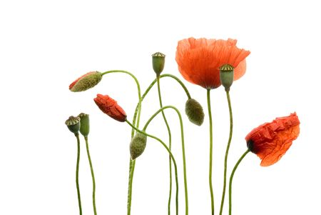 Poppy flowers isolated on white background Stock Photo - 3169037