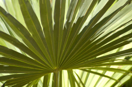 afrika: Close up of fresh green palm leaf