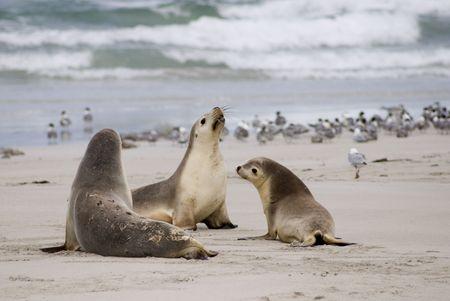 캥거루 섬의 바다 사자 스톡 콘텐츠