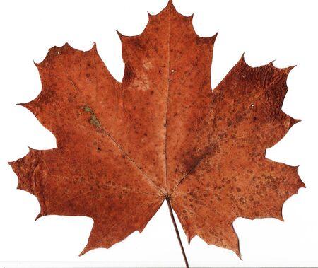 pressed: pressed maple  leaf background