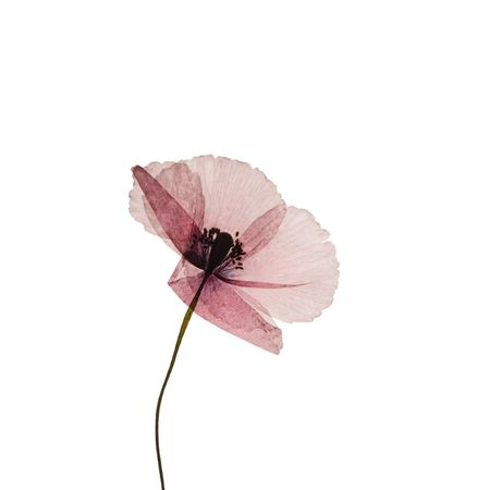 pressed poppy flower isolated on white Stock Photo