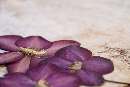 pressed clematis flower on wood background photo