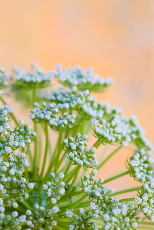パステル カラーの背景の前で壊れやすいパセリ雑草の花