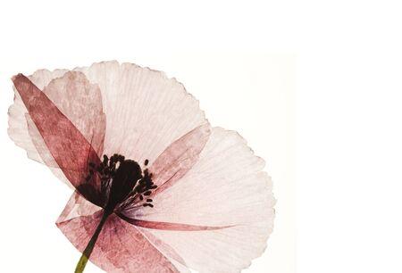 pressed poppy flower isolated on white Stock Photo