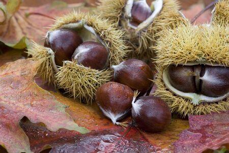 autmn: still life with chestnuts and autmn leafs Stock Photo