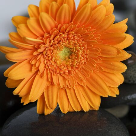 orange gerbera daisy on gray pebble photo