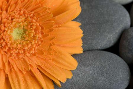 orange gerbera daisy on gray pebble photo