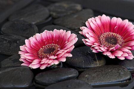 pink gerbera daisy Stock Photo - 5275636