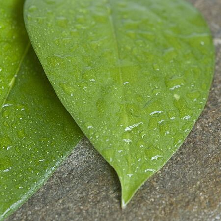 fresh green leaf with drops of water on gray pebble Stock Photo - 5769953