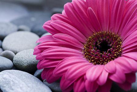 gerbera daisy on pebble