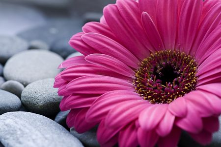 gerbera daisy on pebble Stock Photo - 5871408