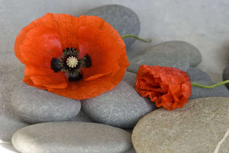 red pebble: red poppy flower and pebble