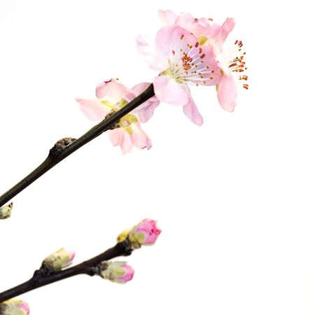 peach blossom on white background Stock Photo - 6550585