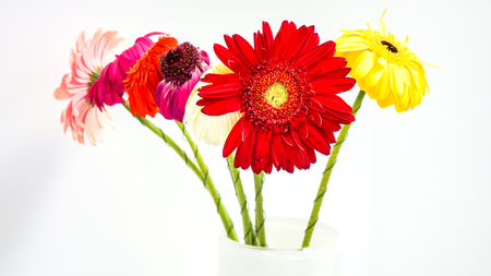 red pink yellow coral bright fresh gerber with green legs stay in glass vase on the reception table in office. gerber daisies isolated on white background. colorful flowers as mood lifting method Stock Photo
