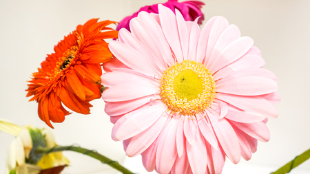 big and small summer bright gerber with green legs stay in glass vase on the reception table in office. gerber daisies isolated on white background. colorful flowers as mood lifting method Stock Photo
