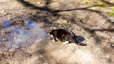Black cat with white spots drinking dirty water from big rain puddle on the ground in sunny spring day with shadows. A cat drinking from a rain puddle. A cat drinking waterwater
