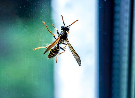 pequeño adulto brillante vivo amarillo avispa negra sentarse en el vidrio de la ventana. Macro de la avispa negra amarilla en la ventana