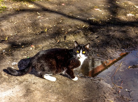 yellow eyes of cat with white spots drinking dirty water from big rain puddle on the ground in sunny spring day with shadows. A cat drinking from a rain puddle. A cat drinking water
