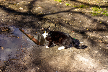 Black cat with white spots drinking dirty water from big rain puddle on the ground in sunny spring day with shadows. A cat drinking from a rain puddle. A cat drinking water