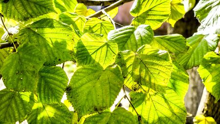 sunshine on leaves with skeleton in front and sunlight inside it. circle big bright linden leaves with clear texture contours in sunshine and shadows. Fresh green linden leaves outdoors as background Stock Photo