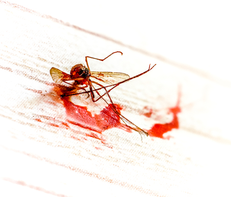 Dead mosquito in Pool of blood against light background. Killed mosquito with lots of human blood. Mosquito as symbol of hot weather in summer season. Parasite with blood Stock Photo
