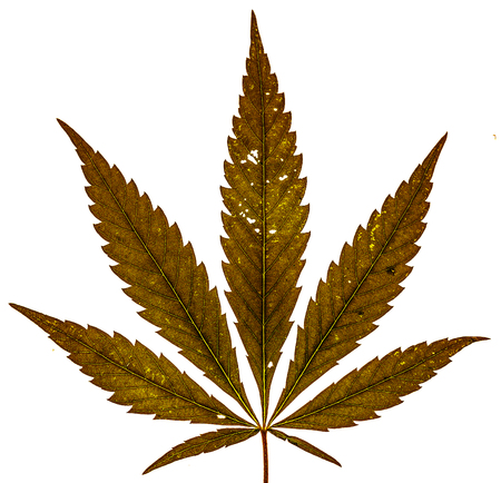 legalize: Dry cannabis brown leaf with five fingers and two more small isolate. Single marijuana plant on white background. Be happy with marijuana. Cannabis leaf as future drug