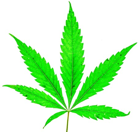 young fresh organic cannabis green leaf with five fingers and one more small isolate. Single marijuana plant on white background. Be happy with marijuana Imagens