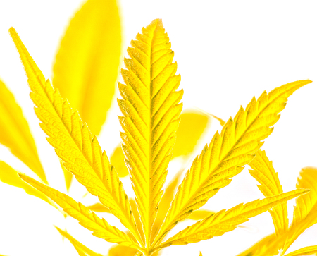 part of big sunny gold marijuana leaves isolated on background. strong lines on cannabis leaf against another leaves. rainbow colorful happy life with cannabis. marijuana as a drug. Stock Photo