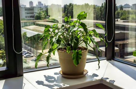 windows frame: light window with big flowerspots one dark brown with long green leaves plant against city landscape. Window with flowerpot