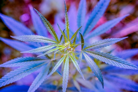 club violet light on wild high natural cannabis plant in sunshine and shadows. Cannabis grows wild in the summer, marijuana leaves. happy pink life with cannabis.