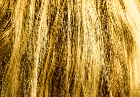 many natural blonde vertical curls. Real woman hair texture. Human hair weft, Dry hair with silky volumes. Real european human hair wallpaper texture. Brown blond dark blonde and black.