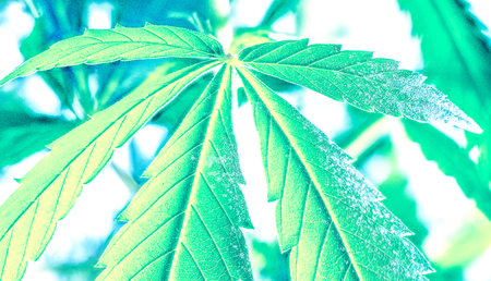 part of big marijuana leaves isolated on background. strong lines on cannabis leaf against another leaves. rainbow colorful happy life with cannabis. marijuana as a drug.