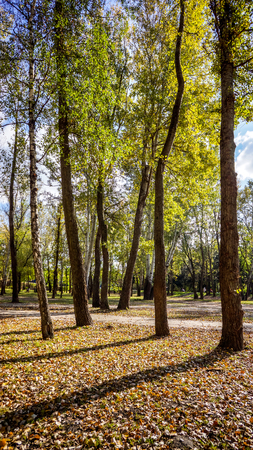 beautiful sunny autumn forest with colorful leaves and balances of green grass, play of light and shadow on many high trees with green yellow red burgundy leaves in the park, nature autumn wallpaper