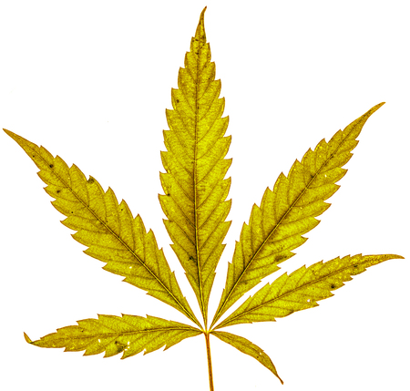 autumn dry yellow organic cannabis leaf with five fingers and one more small isolate. Single marijuana plant on white background. Be happy with marijuana Stock Photo