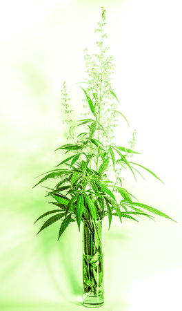 clean glass with trong natural cannabis plant with many leaves in sunshine with shadows. Marijuana as home plant. The cannabis plant, marijuana plant, isolated on white background. Cannabis bouquet