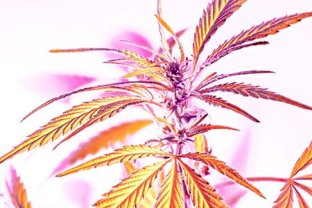 Strong natural cannabis plant with many leaves in sunshine with shadows. Marijuana as home plant. The cannabis plant, marijuana plant, isolated on white background. How to grow cannabis at home 스톡 콘텐츠