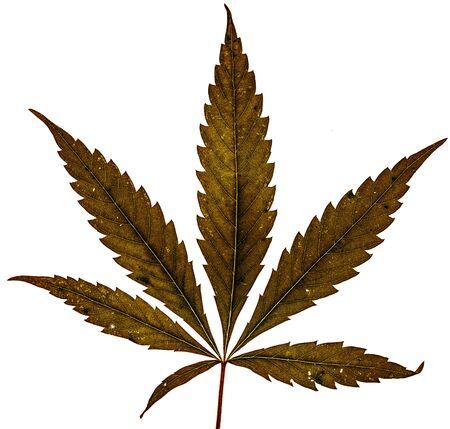Single marijuana brown dry plant on white background