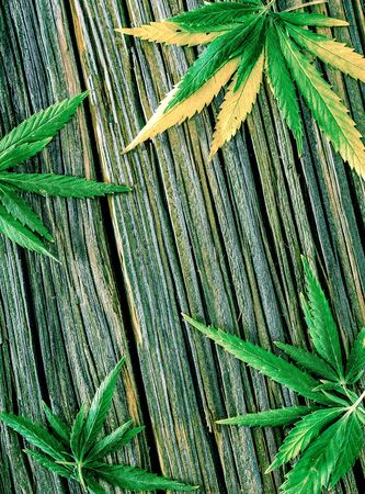 few green fresh cannabis leaves lay on old wooden background