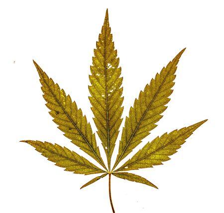 Single marijuana leaf with seven fingers on white background Stock Photo