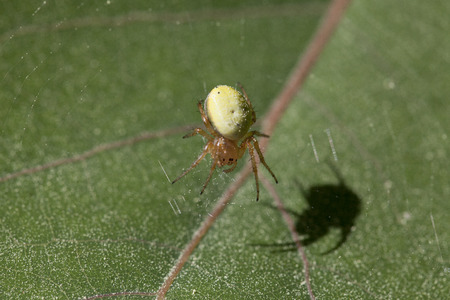 Big fat yellow spider waiting on a leaf to ambush an insect.